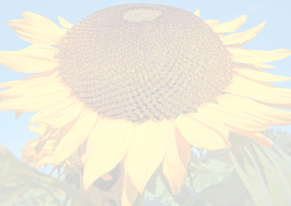 Beterschapkaart - Zonnebloem  2