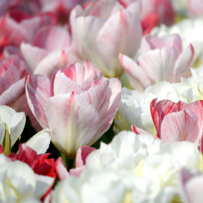 Bloemenkaart - Een Tulpen Zee OT 2