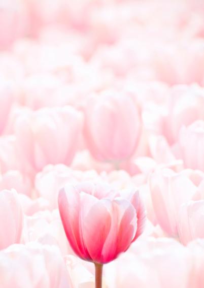 Bloemenkaart - Roze Tulpenveld 2