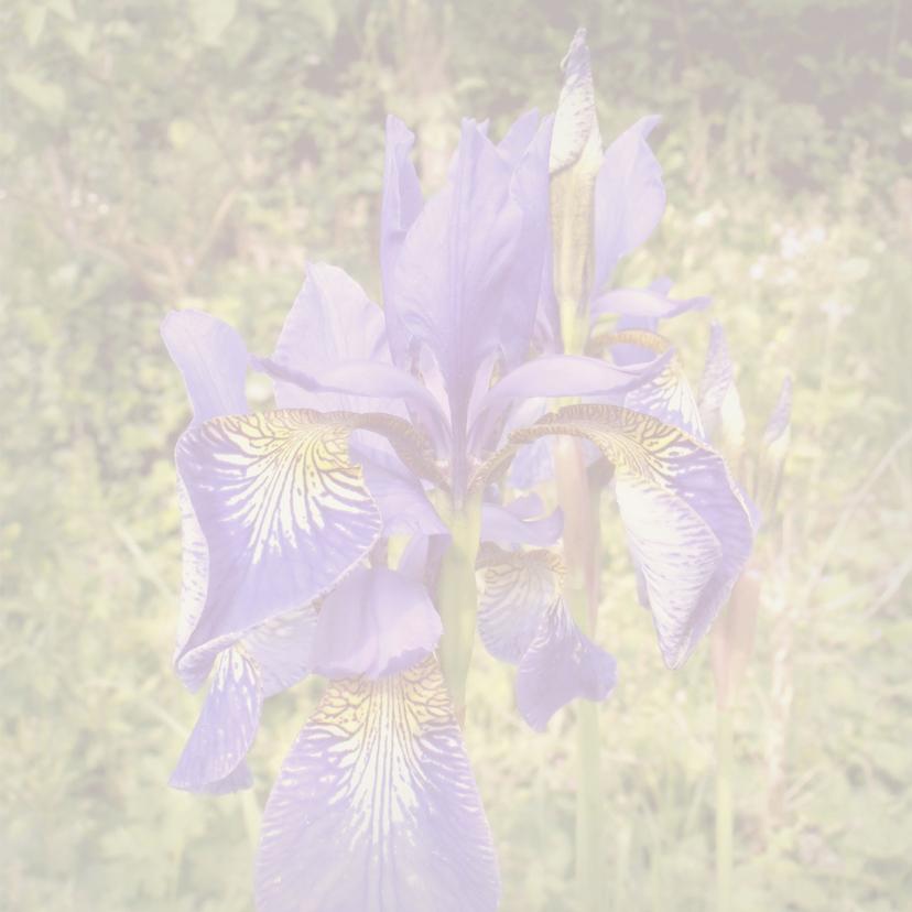 Bloemenkaarten - Iris 3