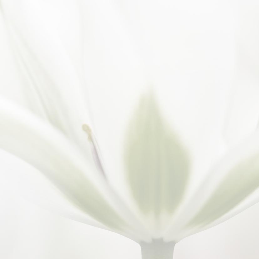 Deelneming met witte tulp 2