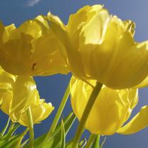 Bedankkaartjes - Gele tulpen -4-