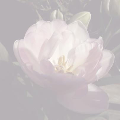 hoopgevende tulp 3