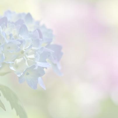 Jubileum met hortensia 3