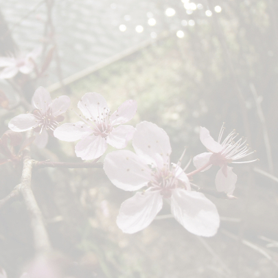 Kersenbloesem tak 3