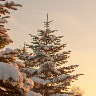 Kerstbomen met sneeuw 2