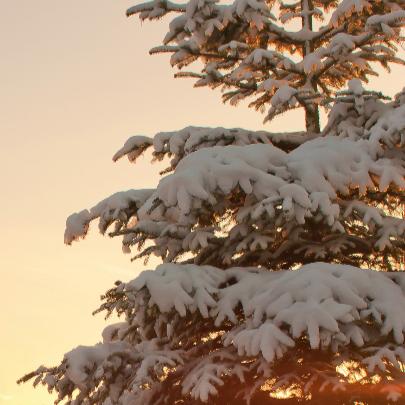 Kerstbomen met sneeuw 3
