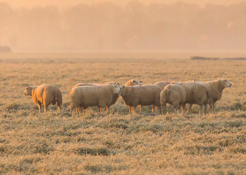 Kerstkaart schapen in de winter 3