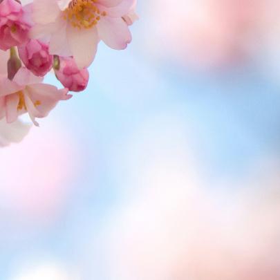 Prunus-bloesem 3