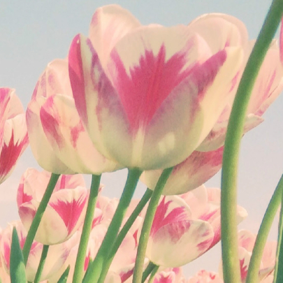 Rood-witte tulpen 3