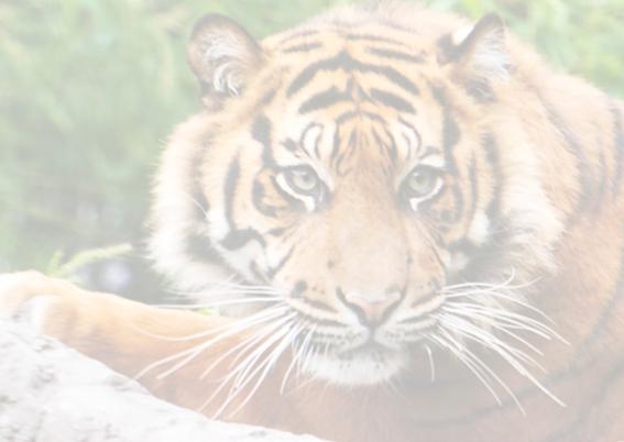 siberische tijger 2