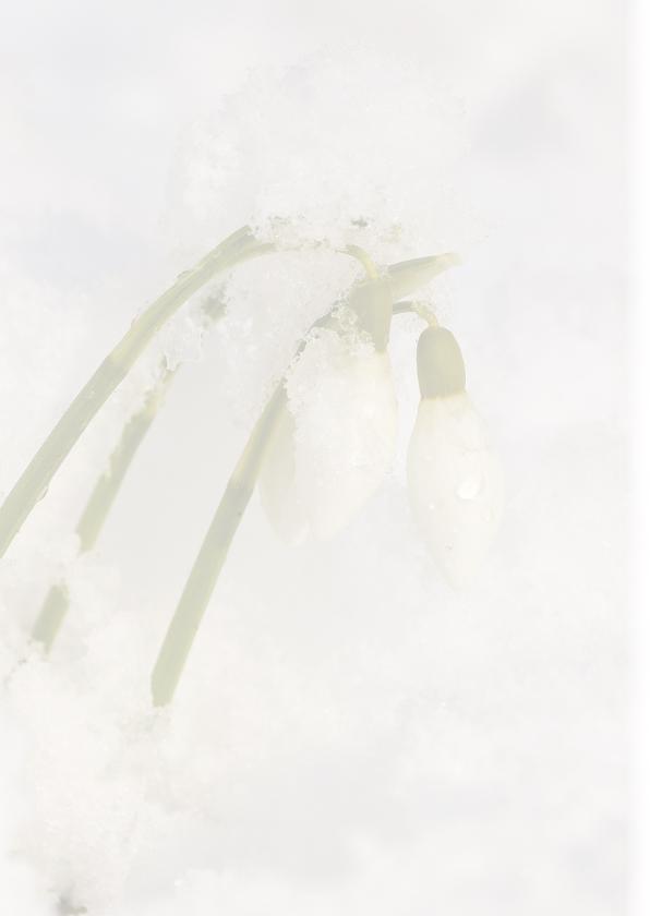 Sneeuwklokjes in sneeuw 2