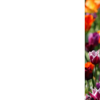 Tulpenveld oranje paars OT 3