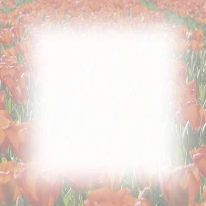 tulpenveld rood 3