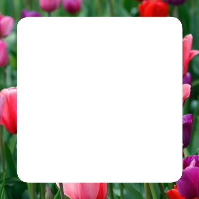 Tulpenveld roze paars rood OT 3