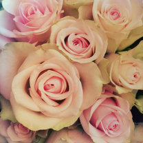 zachte rozen